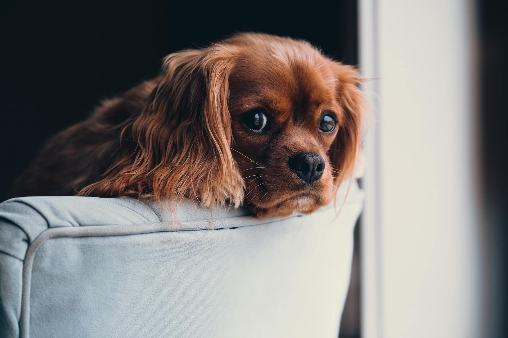 cocker spaniel puppy looking over back of sofa